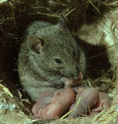 http://siroosalipour.persiangig.com/%D9%85%D9%88%D8%B4%20%D8%AE%D8%A7%D9%86%DA%AF%DB%8C/House-mouse-washing-new-born-young%5B3%5D.jpg